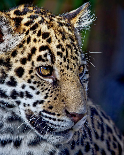 Khan.. The newest baby Jaguar at the Jacksonville Zoo and Gardens.