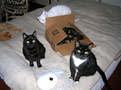 "There's nothing like an empty box to attract feline attention. Clockwise, from top: Gerald (giving the sniff test), Sarah (inside... giving her nod of approval), Erroll, Amy, and Domenico (""Box? What box?"")"