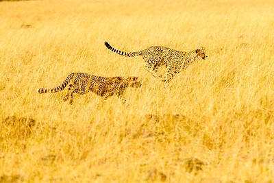 Cheetah cubs practice sprints
