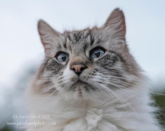 Jackson, longhair Siamese mix cat
