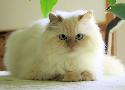 Ozzy, my flame-point Himalayan