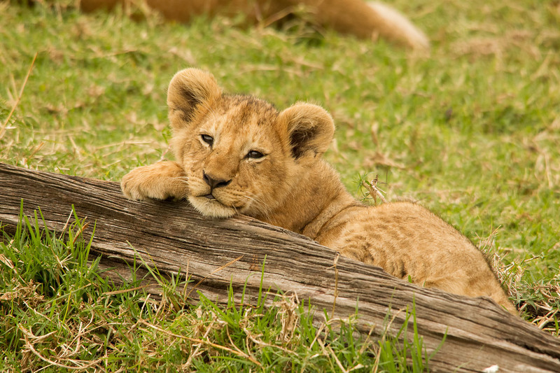 Lion cub asking to be taken home
