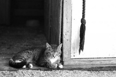 Barn cat in Foley, MN