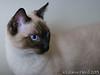 Sophie, Siamese mix cat