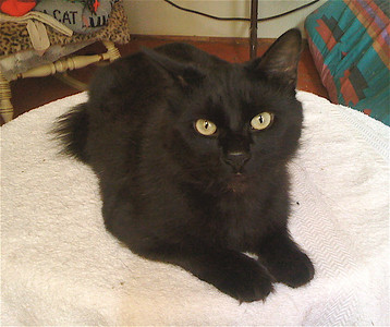 Thelonious is a former street thug turned cuddly house beast. He's a very fun boy... full of energy and loves to play.