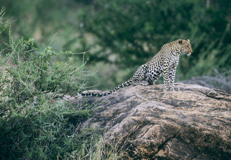 Leopards know how to show off their tails