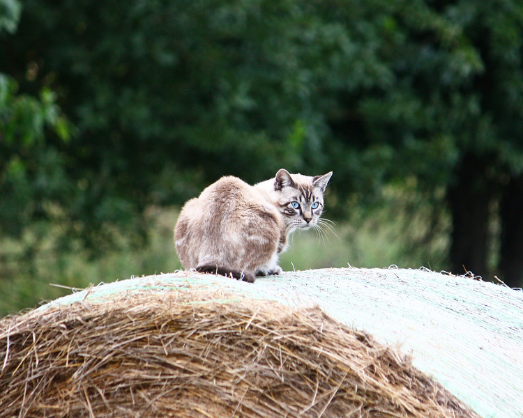 Cat on a hay bale