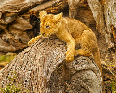 Playful lion cub on finely textured tree.