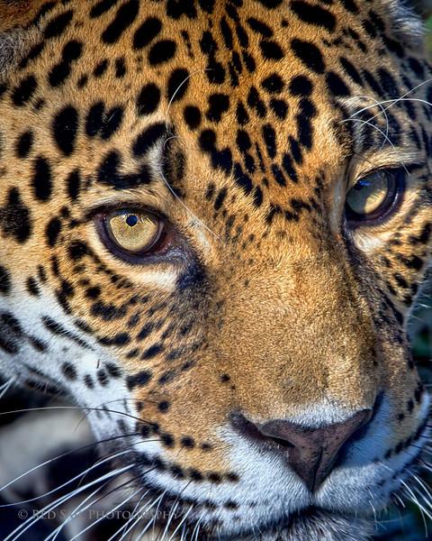 Jaguar.. Image taken at the Jacksonville Zoo and Gardens.