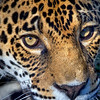 Jaguar.. Image taken at the Jacksonville Zoo and Gardens.