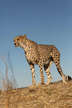 Cheetah against blue sky