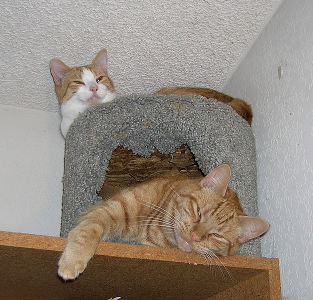 Domenico and his brother Alessandro in a cat condo on top of a bookcase. They love it up close to the ceiling where it's nice and warm.