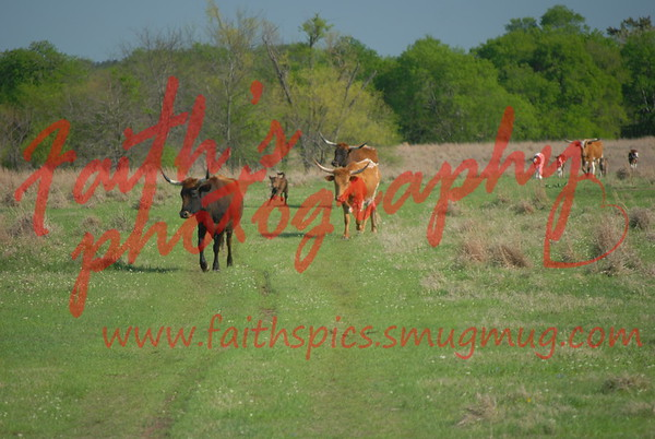 Cattle 032909