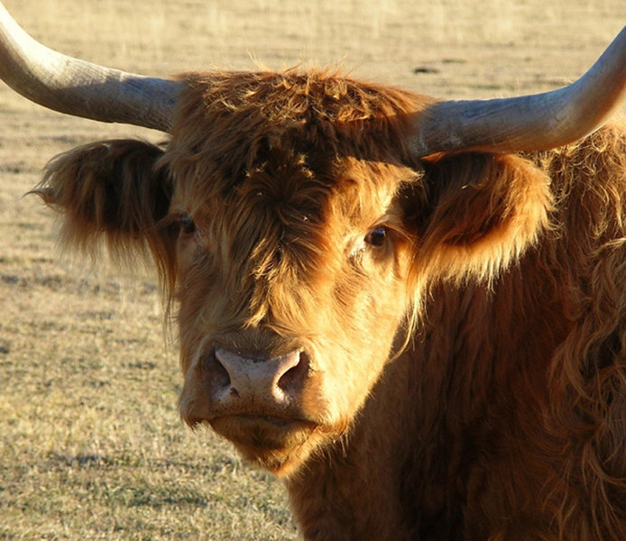 """Cutie"" <br /> The Highland is the oldest registered breed of cattle, with the first herd book being established in 1884."