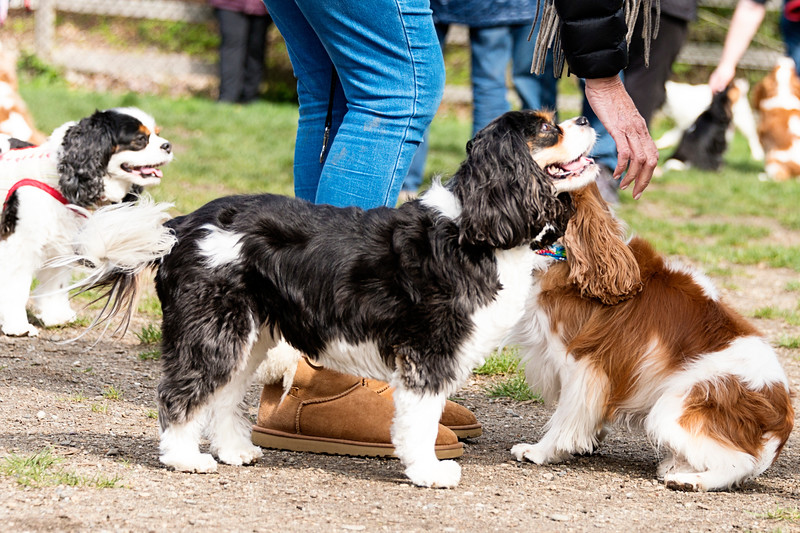 Cavalier King Charles Spaniel Meet-up