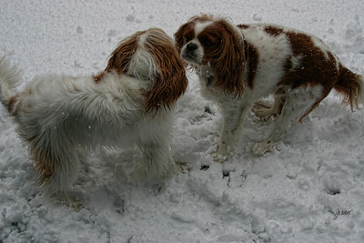 Buddy and Ollie playing in the snow