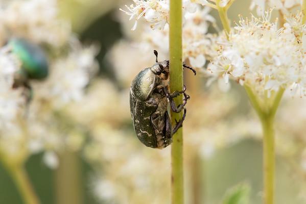 Cetonia aurata (Swedish: Gräsgrön guldbagge)