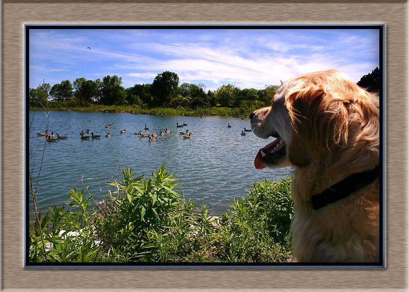 CHARLIE WATCHING THE FLOCK