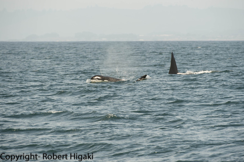 female on left, male on right(very tall dorsal fin)