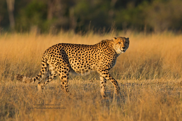 Cheetah, Leopards and Other Cats