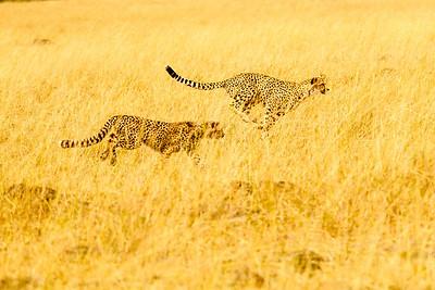 Cheetah cubs practice sprints