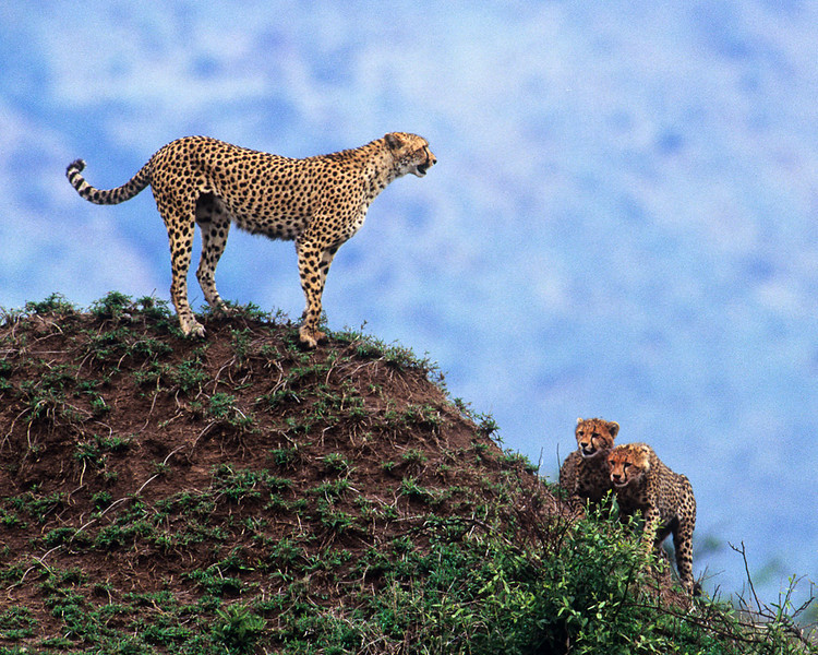 Cheetah surveying the plains for antelope