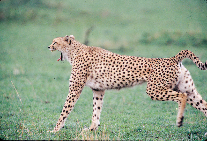 It is tiring being the fastest animal on earth