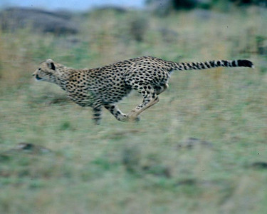 Fastest animal on earth, using tail for a rudder