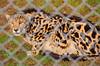 King Cheetah (a rare mutation resulting in this distinct fur pattern)