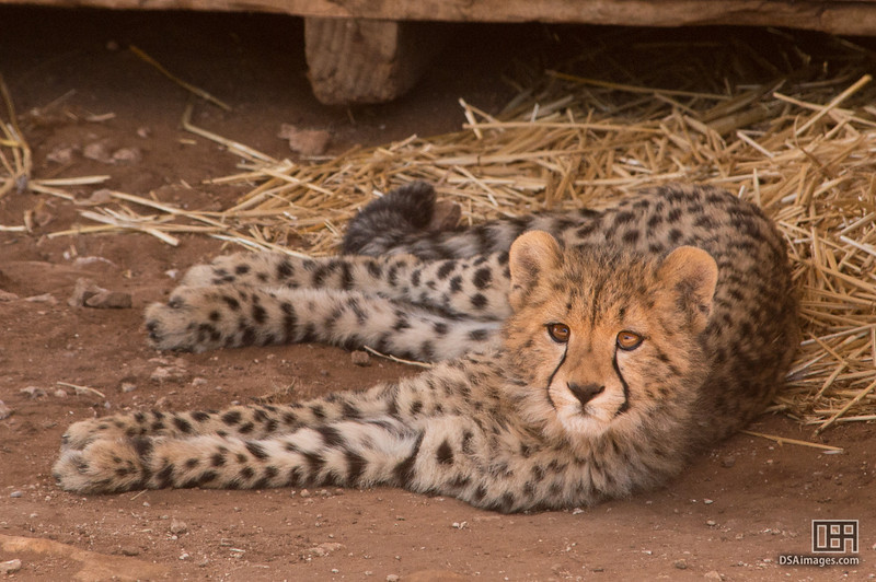 Young Cheetah cub, Kwatile