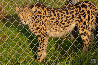 King Cheetah (a rare mutation resulting in this distinct fur pattern)
