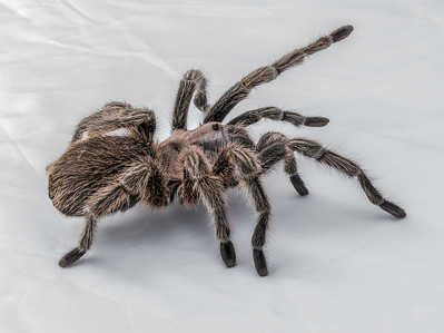 Terri: Chilean rose hair tarantula