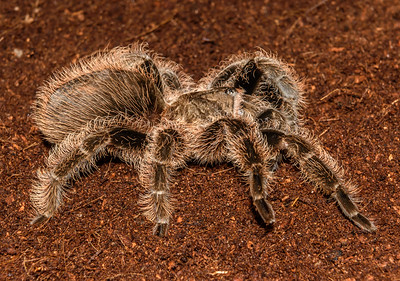 Butterscotch - Curley haired Tarantula