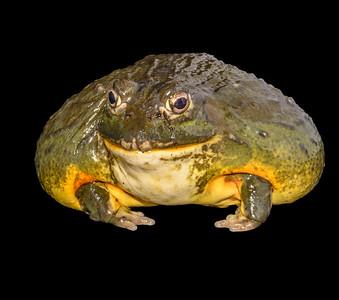 Rosie: Giant African Bullfrog