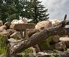 These rocky mountain goats were photographed at the Cheyenne Mt. Zoo; view the detail in the largest sizes.  In the larger sizes, you can see some of their fur that is stuck to the tree trunk.