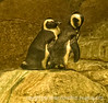 These penguins were photographed through a very dirty glass at the Cheyenne Mt. Zoo in Colorado Springs