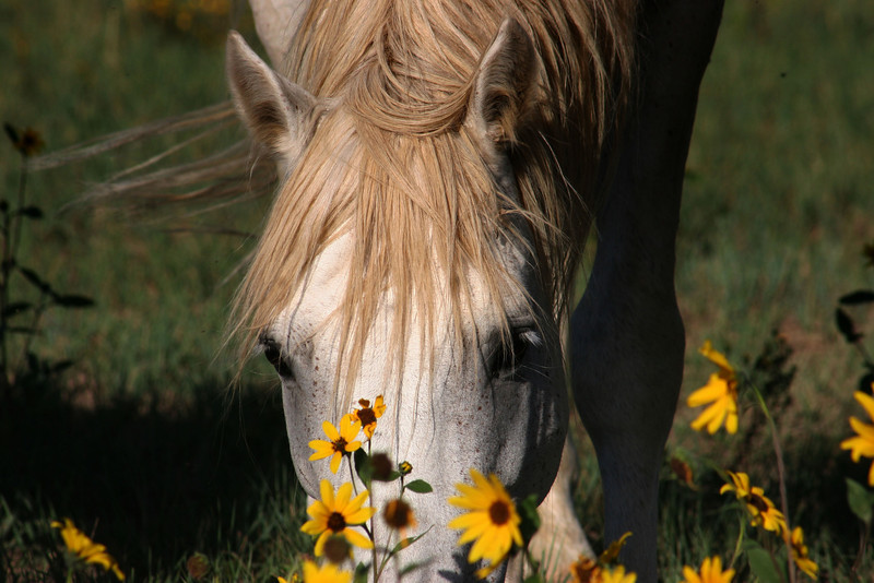 Gabby the stallion in the sunflowers bigger file.