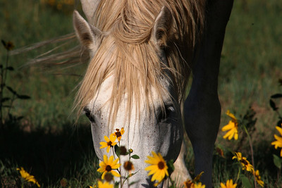 Gabby the stallion in the sunflowers  Cheyenne Rondeaux