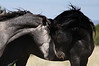 """Eye to Eye""<br /> <br /> Two Stallions ready to spar.<br /> Placitas wild horses<br /> <br /> Cheyenne Rondeaux  Photography<br /> age 8"