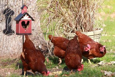 Chickens 11/8/2012