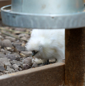 Chickens - 7/17/2013