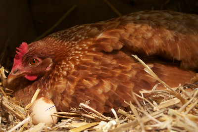 Golden Girl waited patiently for 21 days nurturing her adopted eggs!