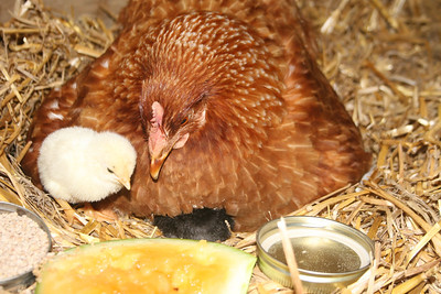 Time for chicks to go nighty-nite!  Up under her they go....