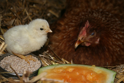 Baby chick decided it wanted watermelon instead of feed!