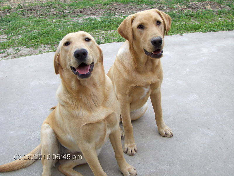 That's Buddy on the L. and Ruby on the R. I think they are around 7 months old. They are Lab's.