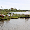 Chincoteague Ponies - Grazing by the bay.