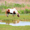 Chincoteague Pony - Stallion.