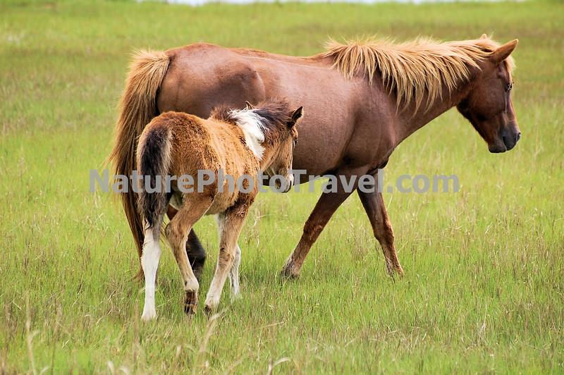 Chincoteague Pony - Mare & Foal.