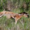 Chincoteague Pony - Foal resting2.
