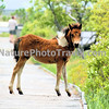 Chincoteague Pony - Foal on boardwalk.